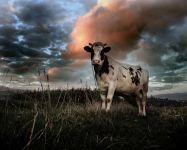 Корова со спиленными рогами