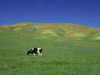 Сколько стоит дойная корова?