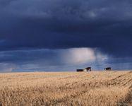 Две коровы на фоне туч