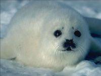 Белек детеныш тюленя
