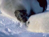 Гренландский тюлень, или лысун