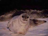 Подросток гренландского тюленя