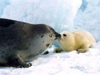 Самка гренландского тюленя с бельком