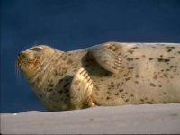Каспийский тюлень, или нерпа