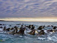 Стадо моржей в воде