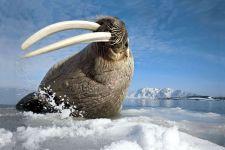 Огромные клыки моржа
