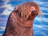 Тихоокеанский морж (Odobenus rosmarus divergens)