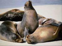 Морские котики животные
