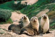 Детеныши морских котиков