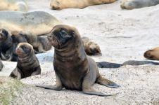 Морские котики тюлени