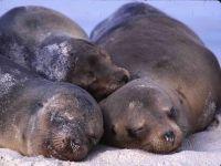 Морские котики seal