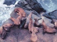 Морские котики отдыхают на камнях