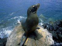 Морской лев (Zalophus californianus)