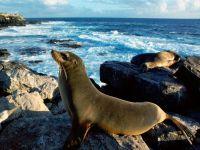 Морской лев википедия