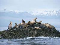 Северные морские львы на камне