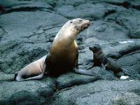 Морской лев с детенышем