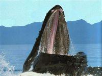 Раскрытая пасть горбатого кита