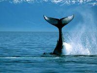 Хвост кита горбача
