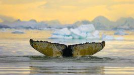 Горбатый кит, Антарктика