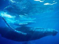 Горбатый кит плывущий под водой