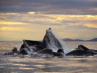 Свадьба горбатых китов