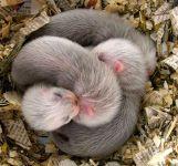 Спящие щенки хорька