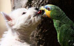 Вест-хайленд-вайт-терьер целуется с амазоном