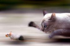 Кошка гонится за мышкой