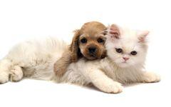 Персидская кошка и щенок кокер-спаниеля