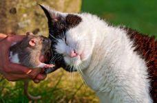 Как познакомить кошку с крысой? Нужно натереть крысу валерьянкой!