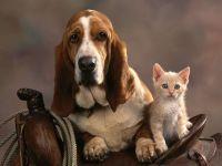 Бассет-хаунд и котенок в седле