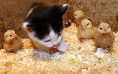Котенок среди цыплят, прикольное фото смешная