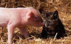 Розовый поросенок и котёнок, прикольное фото смешная