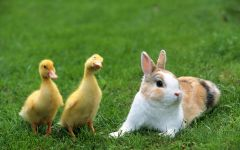 Карликовый кролик и гусята, прикольное фото смешная