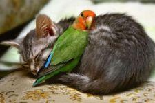 Попугай неразлучник спит на котенке, прикольное фото смешная