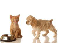 Щенок американского кокер-спаниеля и рыжий котенок около миски с кормом, прикольное фото смешная кар