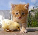 Котенок и цыпленок, прикольное фото смешная
