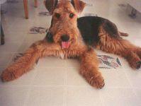 Порода собак эрдельтерьер