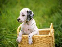 Куплю щенка далматина