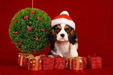 Кавалер-кинг-чарльз-спаниель щенок