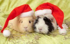 Морские свинки в новогодних шапочках