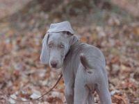 Порода собак веймаранер