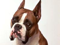 Боксер порода собак