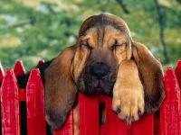 Бладхаунд спящий на заборе