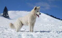 Белая швейцарская овчарка на снегу