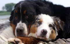 Бернский зенненхунд и австралийская овчарка