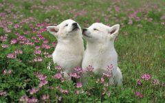 Белые щенки акиты в траве