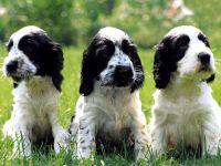 Бело-черные щенки английского кокер спаниеля