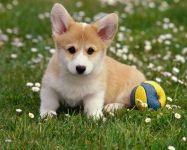 Вельш-корги-пемброк щенок