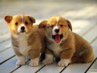 Вельш корги пемброк цена щенка